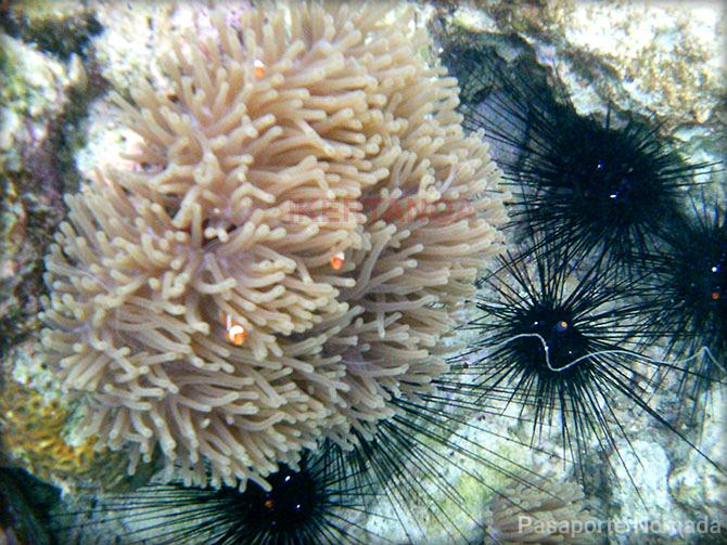 anemonas y erizos en pulau kapas