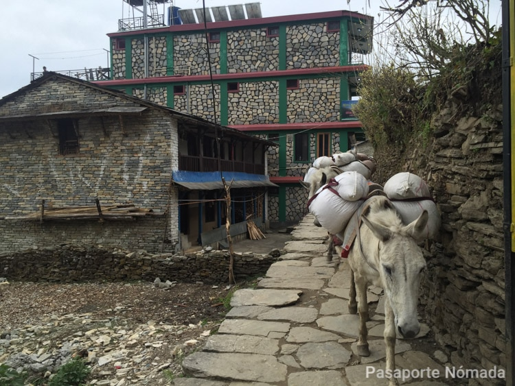 animales transportando mercancia en ghandruk