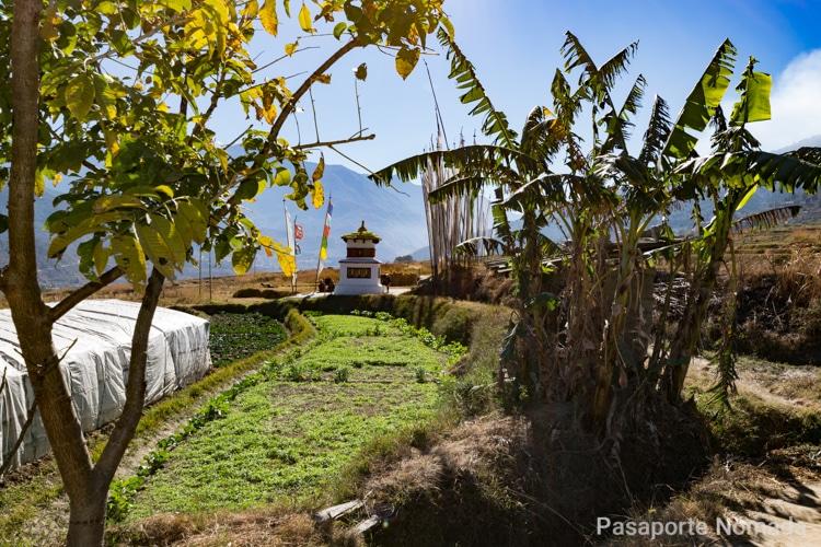 terrazas de arroz en una caminata en butan