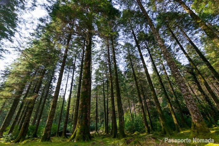 bosque de robles en el parque nacional de killarney