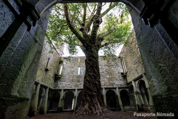 tejo en el interior del claustro de la abadia de muckross en el parque de killarney