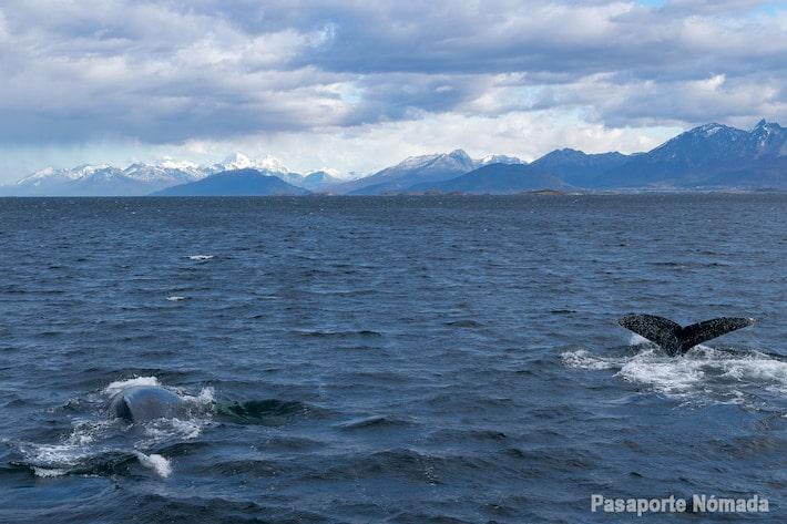 avistamiento de ballenas en el canal beagle ushuaia