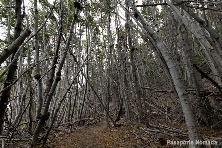 bosque de lengas y ñires en tierra del fuego